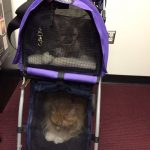 Cadi and Vivo sit in their cat carrier, which looks like a stroller.