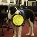 Seamus stands, holding a neon yellow soft frisbee in his mouth.
